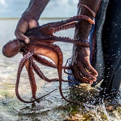 Săn bạch tuộc khiến cuộc sống của người dân được cải thiện.