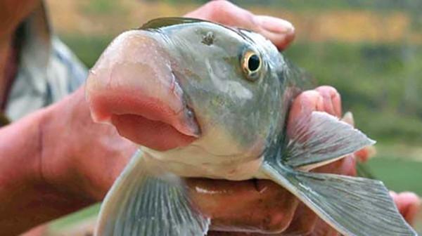 Thịt cá Anh Vũ ngọt đậm đà có vị thơm khác hẳn các loại cá khác,là sản vật quí hiếm dùng để tiến cung vua thời xưa.