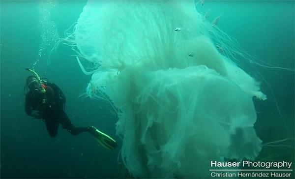 Sứa khổng lồ là loài động vật thân mềm thường sinh sống ở vùng nước sâu tại Puerto Vallarta, Mexico. Việc có thể bắt gặp những con sứa này là việc cực kì hiếm gặp.