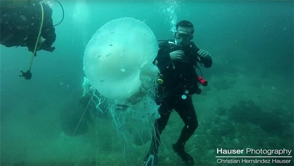 """Con sứa trong clip có màu trắng, đang bơi nhẹ nhàng theo theo làn nước và được """"hộ tống"""" bởi một bầy cá nhỏ."""