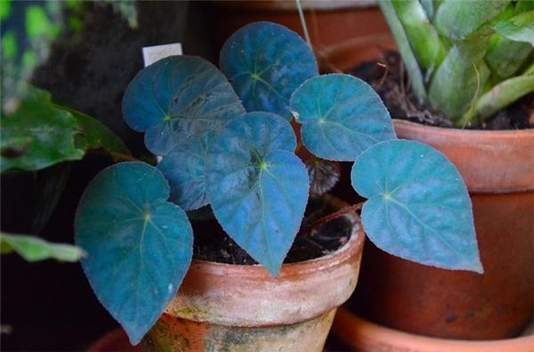 Nhưng có một giống thu hải đường đặc biệt có tên khoa học là begonia pavonina, hay còn gọi là thu hải đường lông công, từ trước đến nay đã thu hút sự chú ý của đông đảo các nhà khoa học trên thế giới vì những chiếc lá màu xanh dương vô cùng đặc biệt.