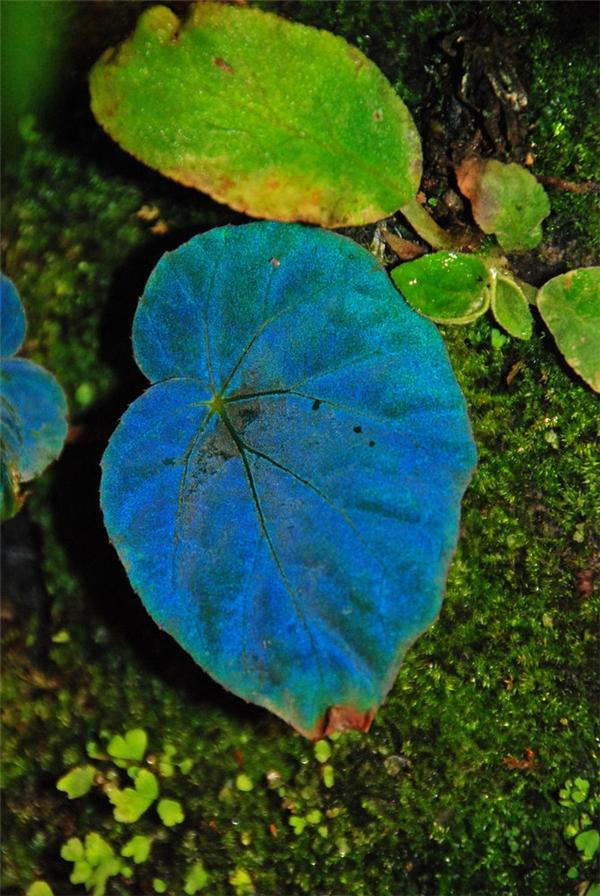 Sở dĩ những chiếc lá này phát ra ánh sáng màu xanh dương là vì thông thường trong ánh sáng mặt trời có chứa rất nhiều tia sáng màu xanh dương, xanh lá, đỏ…