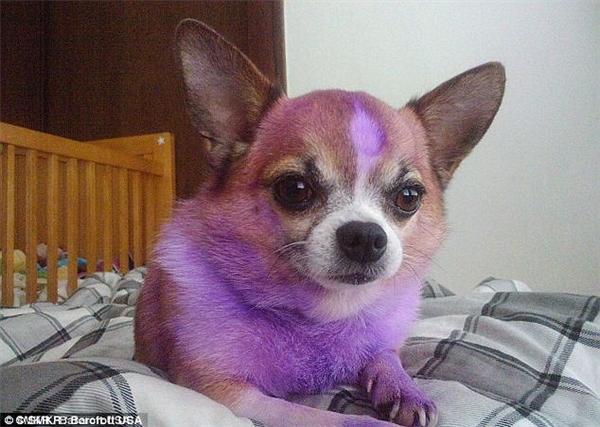 Chú chó Chihuahua đáng thương. Vẻ mặt cam chịu chính là đây.(Ảnh: Internet)