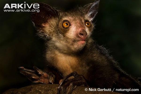 Khỉ aye-aye thuộc nhóm vượn cáo có ngón tay giữa dài kì lạ.