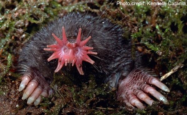 Khuôn mặt của chuột chuỗi mũi sao có hình thù quái gở với các xúc tua mọc thẳng ra từ mặt.
