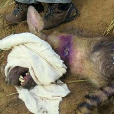 Đầu tiên, họ lấy vải quấn quanh miệng nó, sau đó mớitiêm penicilin cho linh cẩu mẹ.