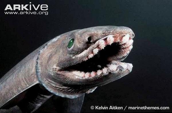 Cá nhám mang xếp sở hữu bộhàm siêu rộng với độ sát thương cao.