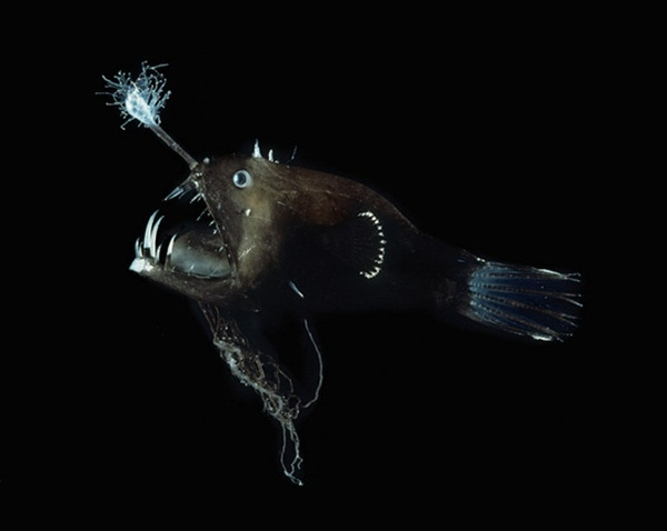 Loài cáLinophryne có khả năng đặc biệt là tạo ra những con mồi giả.