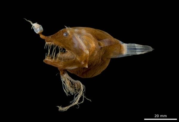 Cá chiếu sáng đực thường sống cộng sinh vĩnh viễn trên người con cái.