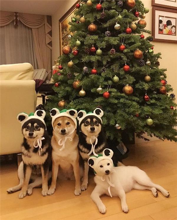 Xin chào các bạn, bọn mình là 4 chị em nhà shiba xinh đẹpnhất mạng xã hội đây.