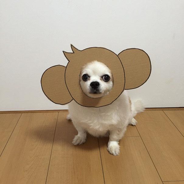 Cười ngặt nghẽo với bộ ảnh cosplay gây sốt của siêu cún Chihuahua