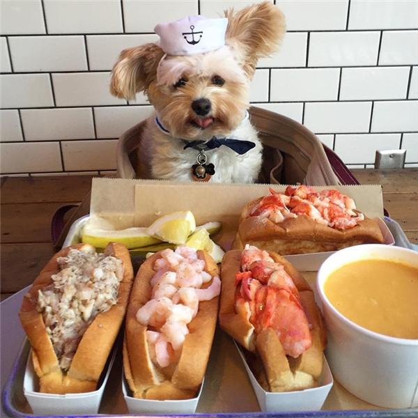 Thông thường các chú chó khi nhìn thấy thức ăn đều sẽ chồm lên bàn, hay nhảy tới liếm láp, giành giật món ăn ngay trong tay chủ.