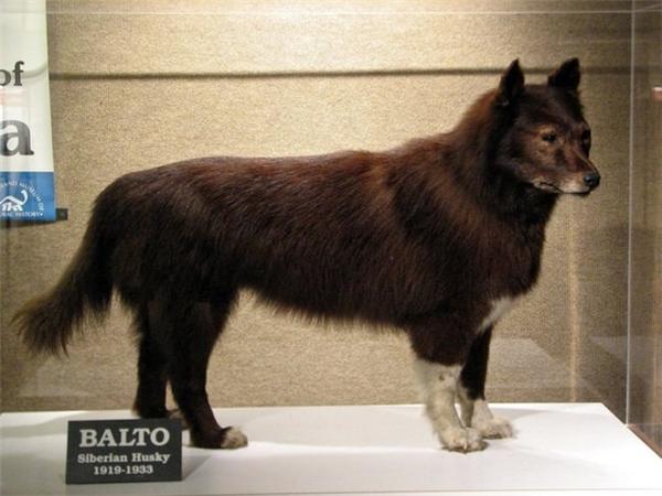 Chú chó Balto đã đưa huyết thanh về Nome cứu sống 10.000 người dân ở đây.