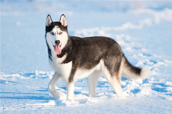 Đội chó kéo xe thuộc giốngSiberian Husky, có khả năng chịu lạnh rất tốt.