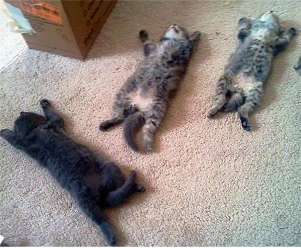 Cứ như cái thảm này là chiếc giường êm ái của tụi nó vậy. (Ảnh: Internet)