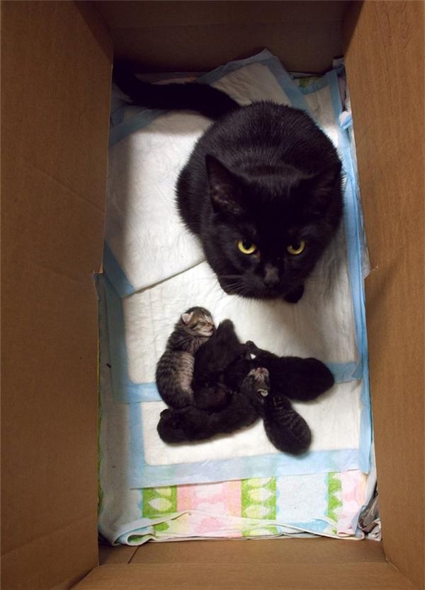 Vượt qua được ánh mắt của mèo mẹ để chạm vào mèo con là một vấn đề lớn, dù cả mẹ và con đều là thú cưng của mình. (Ảnh: Internet)