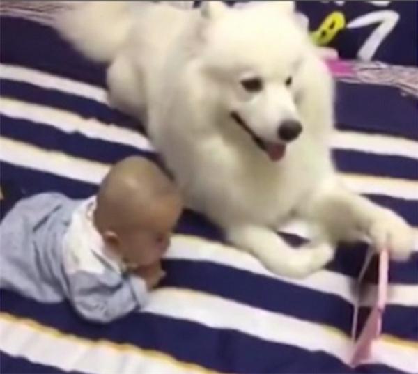 Chó Samoyed siêu dễ thương cầm điện thoại cho em bé xem hoạt hình