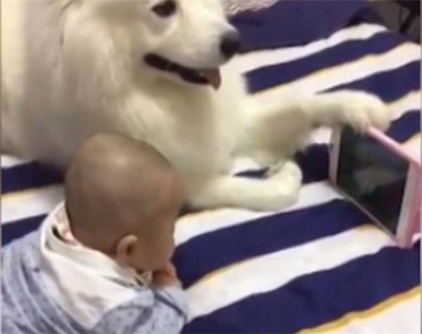 """Trong đoạn clip dài chưa đầy 1 phút, em bé sơ sinh và chú chó Samoyed cùng nằm cạnh trên giường vô cùng """"hòa thuận"""". (Ảnh: Dailymail)."""