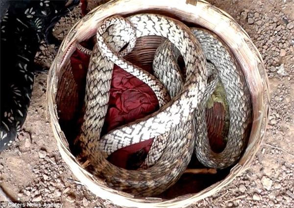Khó tin: Phát hiện rắn hổ mang hình mặt cười tại Ấn Độ