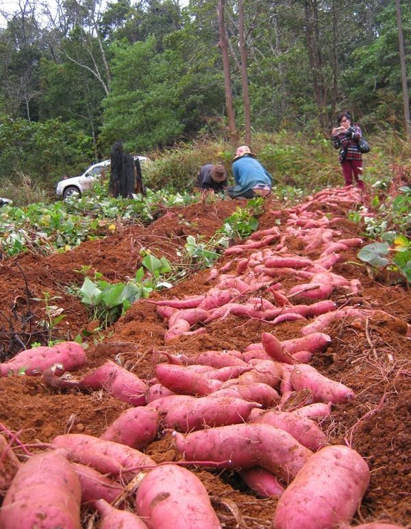 Nên chọn khoai lang khi vừa thu hoạch xong.(Ảnh: Internet)