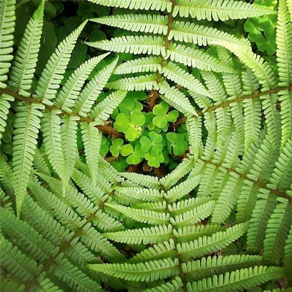 """Giũa đám dương xỉ là một """"bụi cỏ hoa"""" tuy mỏng manh nhưng tràn đầy sức sống."""