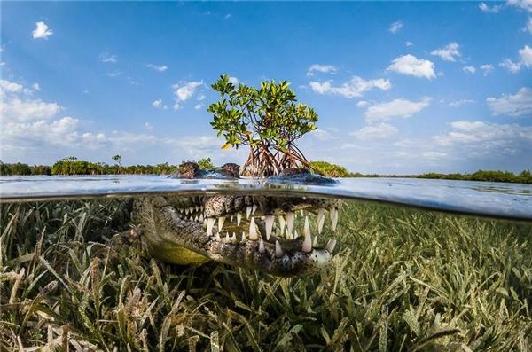 #6 Rừng ngập mặn, Cuba (Giải thưởng danh dự hạng mục ảnh thiên nhiên)