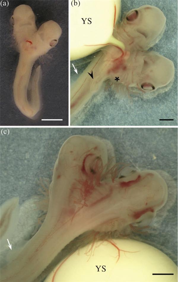 Phát hiện phôi thai cho thấy cá mập 2 đầu đang được nuôi dưỡng?