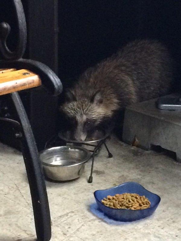 Chú gấu mèo này trong một lần bị đói đã được cô gái dẫn về nhà cho ăn.