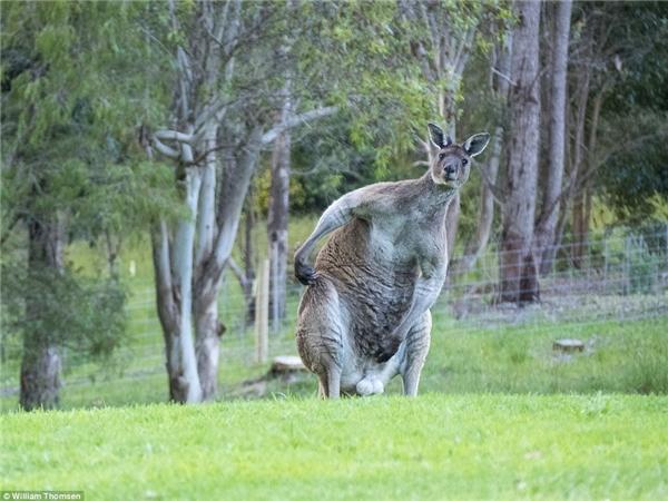 Lần đầu tiên Thomson phát hiện ra chú Kangaroo khổng lồnày là trong lúc đi chơi cùng em gái của mình.
