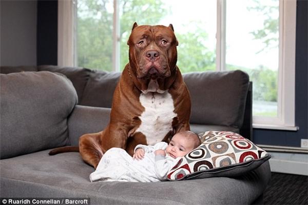 Với thân hình quá khổ 76kg, Hulk được xem là chú chó Pitbull nặng nhất thế giới.