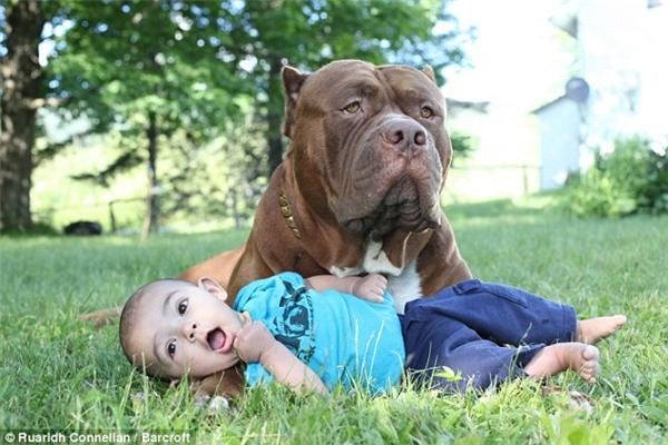 Chú chó còn kiêm luôn chức vệ sĩ cao cấp cho cậu chủ nhỏ.