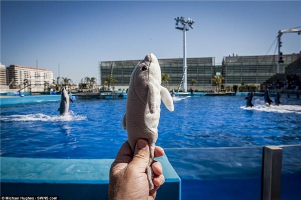 Chú cá heo đồ chơi bằng bông được giữcùng tư thế với chú cá heo thật đang biểu diễn tại công viên Hải Dương thế giới tại Valencia, Tây Ban Nha.