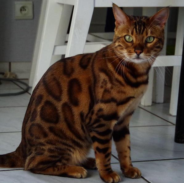 BéThor năm nay ba tuổi, thuộc giống mèoBengal.
