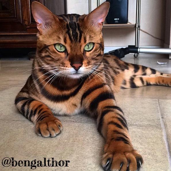 Thor sở hữu bộ lông nâu đốm vằn lai hổ báo tuyệt đẹp.