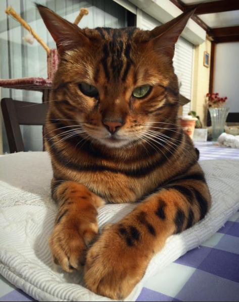 Cận cảnh nhan sắc chú mèo Thor hổ báo đẹp nhất hệ mặt trời