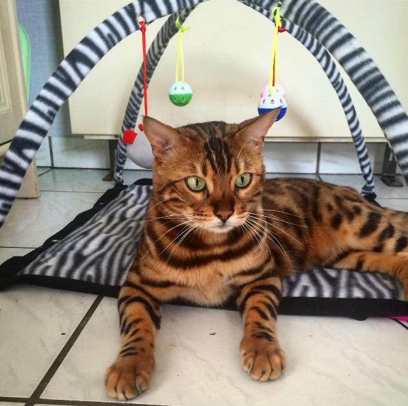 Nghe đồn mọi người bình chọn Thor là bé mèo đẹp nhất thế giới.