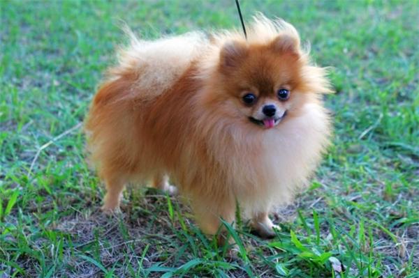 Chú chó Pomeranian đứng thứ 3 về độ bé nhỏ.(Ảnh: Internet)