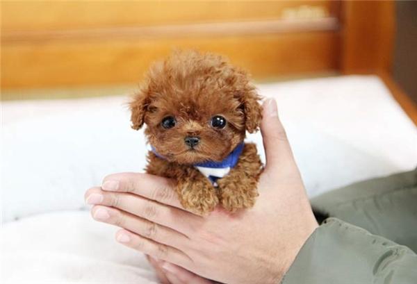 Có ai muốn nuôi một chú Toy Poodle không nào?(Ảnh: Internet)