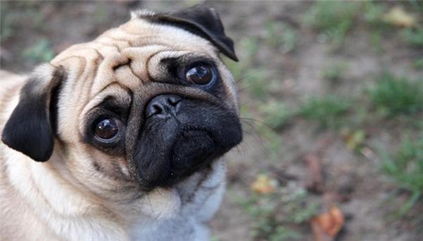 Giống chó Pug mặt xệ cũng được xếp hạng là một trong những giống chó bé nhỏ nhất thế giới.(Ảnh: Internet)
