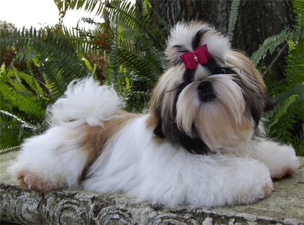 Bộ lông dài óng ả là điểm đặc trưng của loài chó nhỏ này.(Ảnh: Internet)