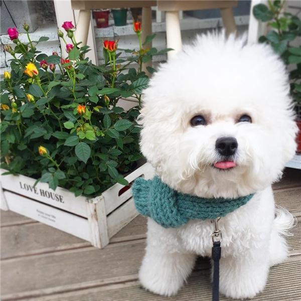 Loài chó Bichon Frise còn từng là vật nuôi hoàng gia đấy.(Ảnh: Internet)