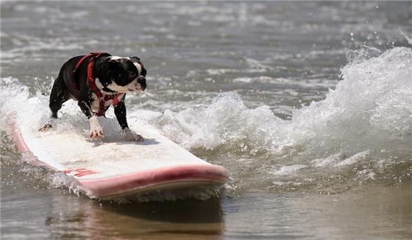 Yêu phát cuồng những bé cún nằm trong top 10 cún tí hon trên thế giới