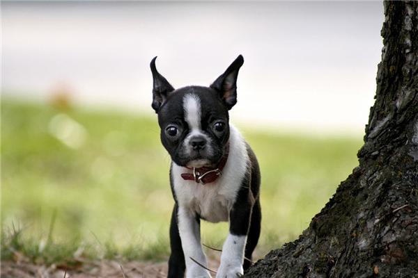 Giống chó sục Boston có vẻ ngoài khá giống Bulldog.(Ảnh: Internet)