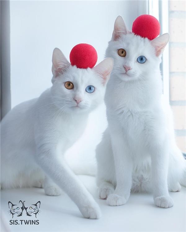 Và là những cô siêu mẫu mèo chuyên nghiệp. (Ảnh: Internet)