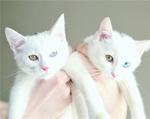 Đây chắc hẳn là đôi mèo đẹp nhất thế giới. (Ảnh: Internet)