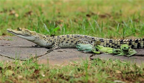 Bầy ếch từ từ tiến đến gần con cá sấu đang nằm. (Ảnh:Daily Mail)
