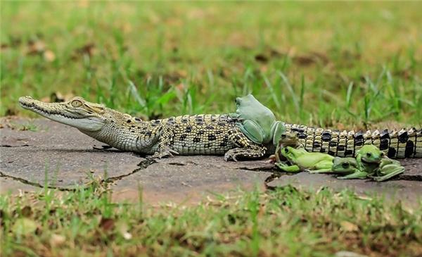 Con ếch đầu tiên leo lên lưng cá sấu. (Ảnh:Daily Mail)