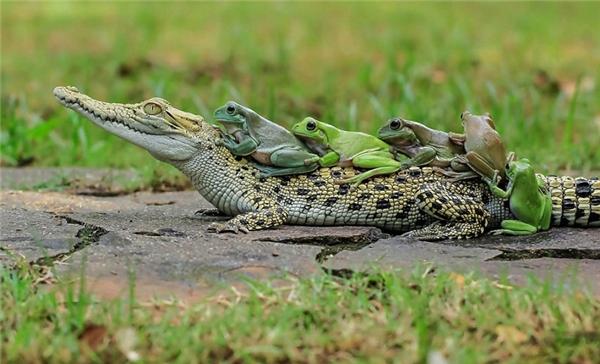 Lần lượt những con ếch tiếp theo đều nhảy lên lưng con cá sấu. (Ảnh:Daily Mail)