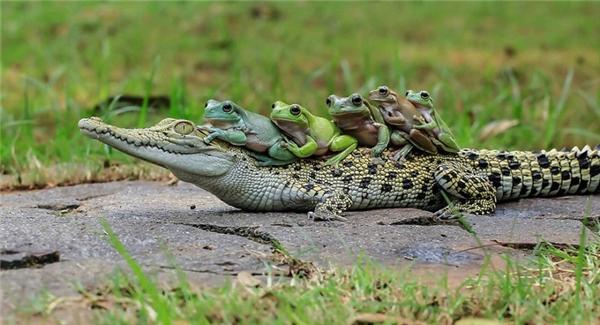 Cận cảnh bầy ếch lười biếng nhờ cá sấu chở qua sông