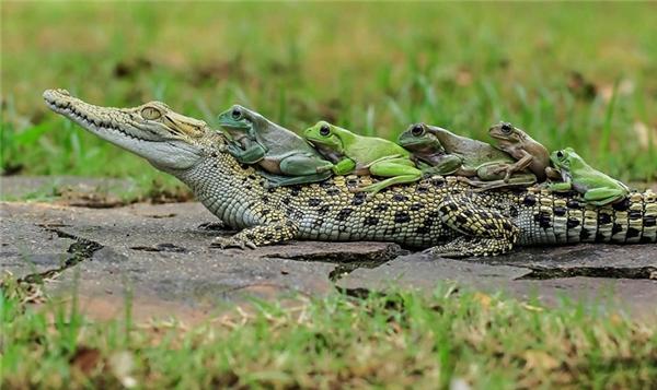 Cả bầy ếch xếp hàng rất trật tự không tranh giành. (Ảnh:Daily Mail)